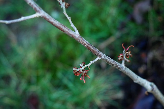 A few red winter flowers showing on a Witch Hazel plant