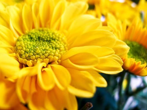 IMG_1352 yellow chrysanthemum