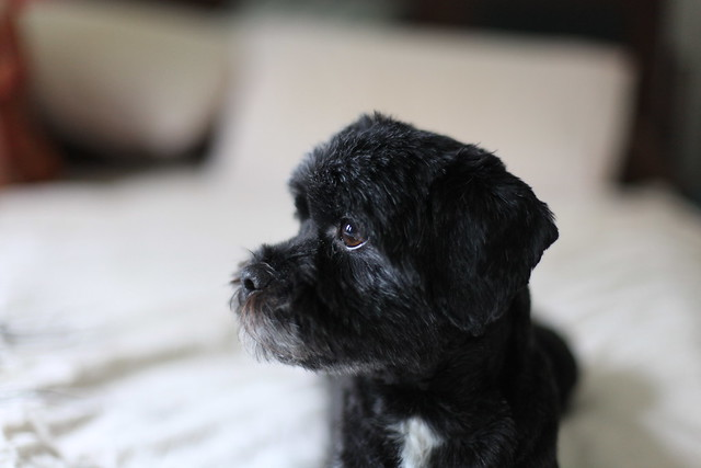 Popular Cute Shih Poo Haircuts Images Amp Pictures  Becuo