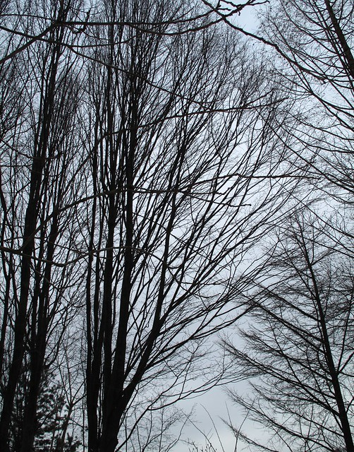 The silhouettes of winter trees revealed against the sky, with the elegant shapes of European Hornbeam trees on the left. Photo by Ashley Gamell.