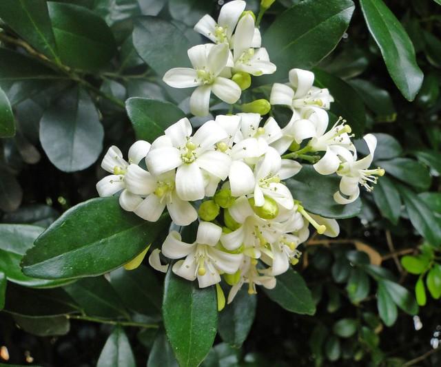 Murta florida e perfumada