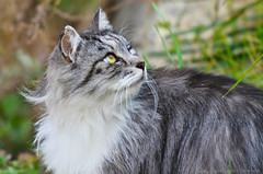 domestic long-haired cat, animal, maine coon, grass, small to medium-sized cats, fauna, siberian, cat, carnivoran, whiskers, norwegian forest cat,