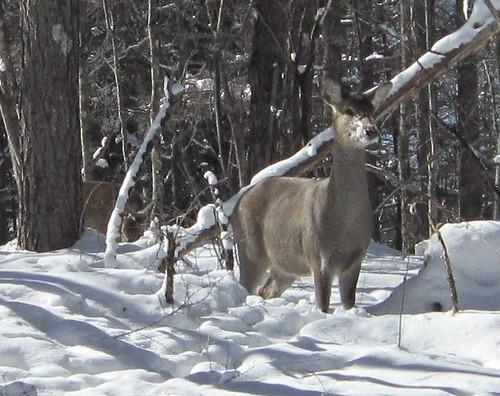 家の前の林の鹿 2012年2月3日12:40 by Poran111