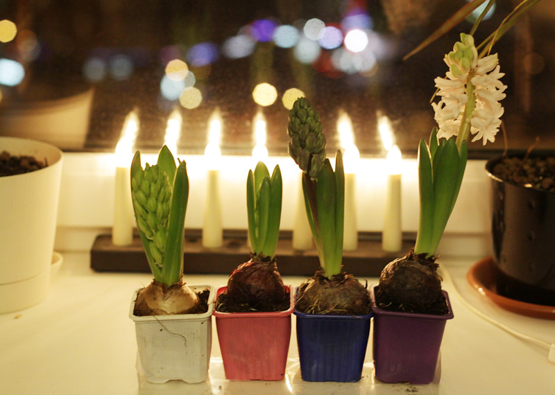 hyacinthс1