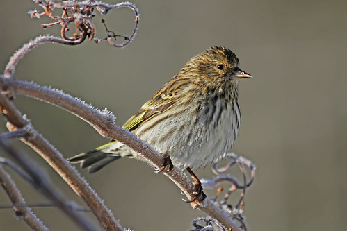 Pine Siskin by My_Minds_Eye