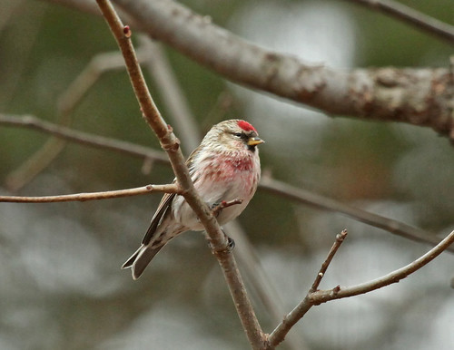 Common Redpoll by JKissnHug