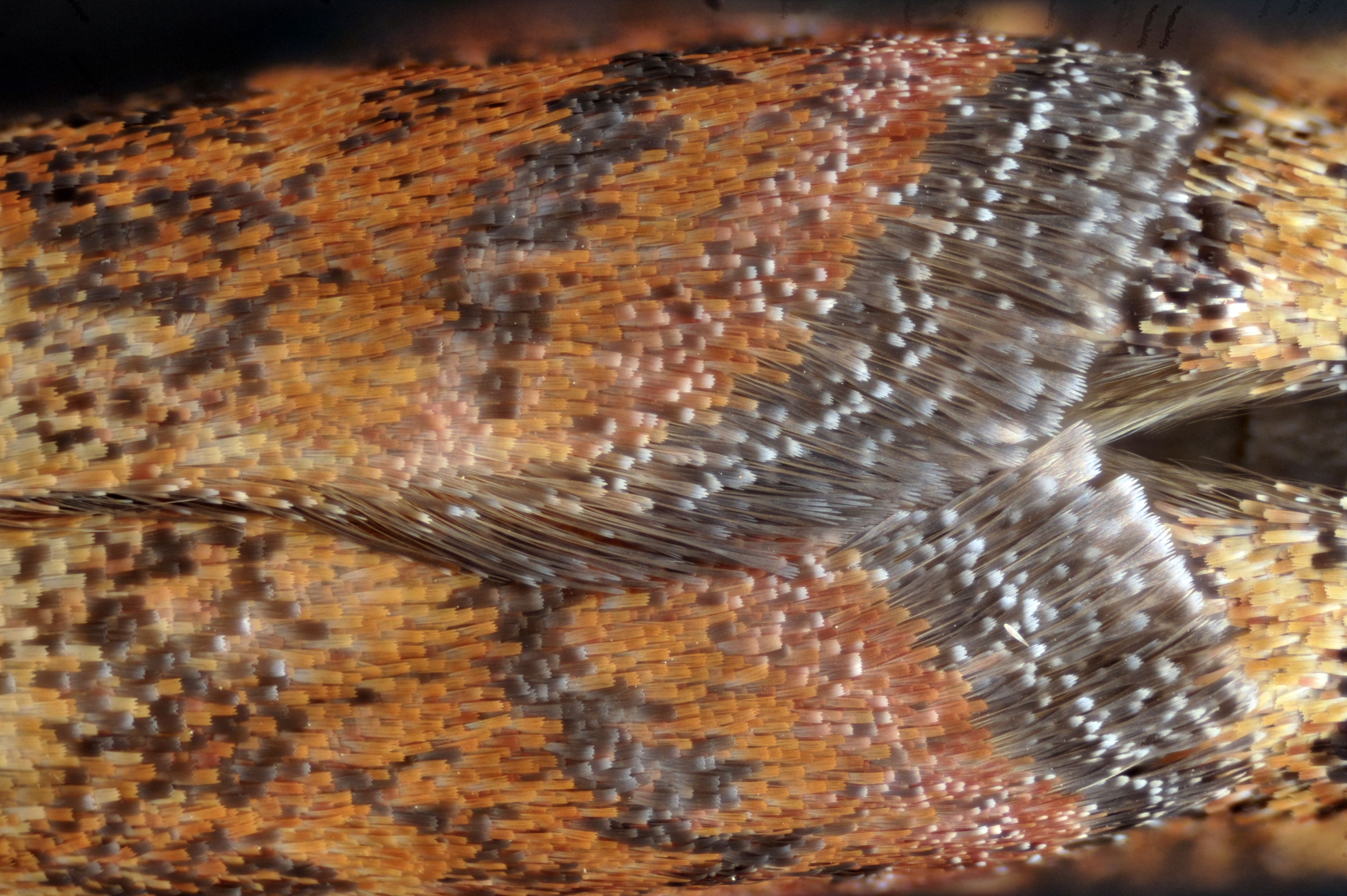 Afficher le sujet le test du papillon corr mite alimentaire le naturaliste - Larve mite alimentaire ...