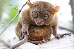 primate(0.0), kinkajou(0.0), whiskers(0.0), animal(1.0), pygmy slow loris(1.0), loris(1.0), mammal(1.0), fauna(1.0), close-up(1.0), wildlife(1.0),