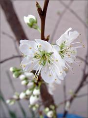 Weeping Santa Rosa plum blossoms