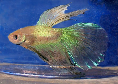 How to care for your fish on vacation my aquarium club for Betta fish vacation feeder