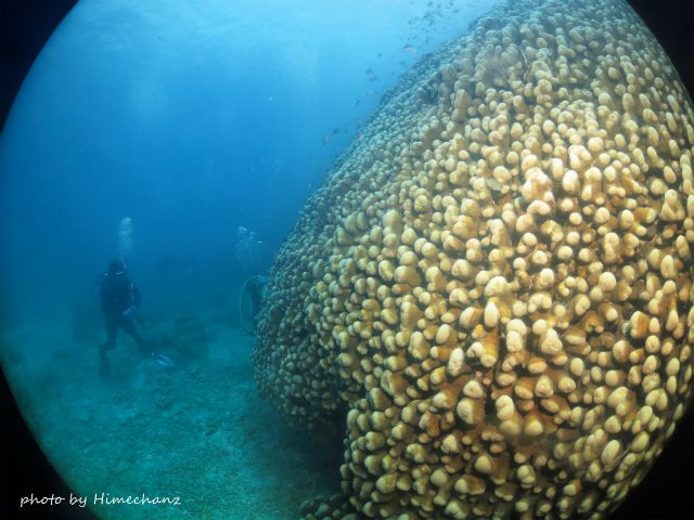 世界最大級のコモンシコロサンゴ
