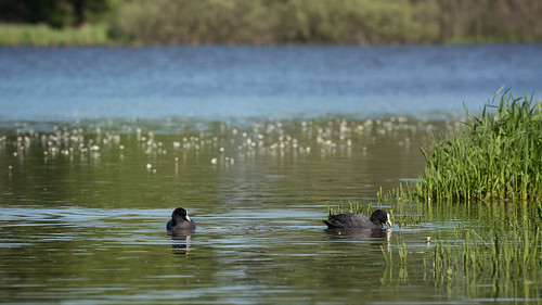 Coots at the Dombes