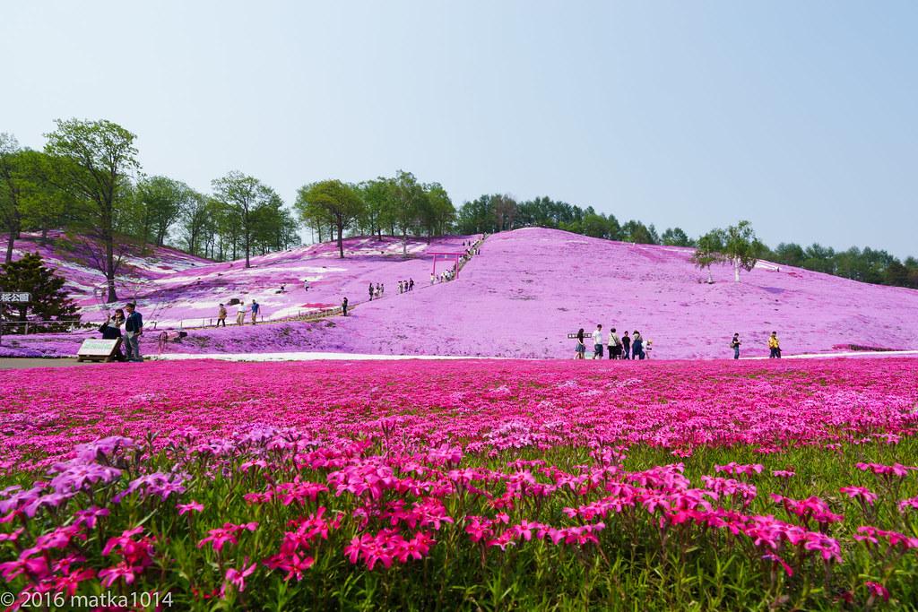 東藻琴芝桜公園-1