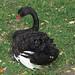 Black swan IMG_4638 por fernandodelatorre46