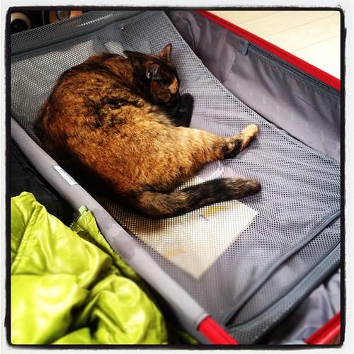 旅行カバンの中好き~♪ #cat #pet #travel #ネコ #猫