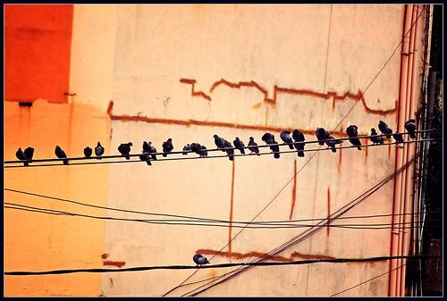 Resting pigeons