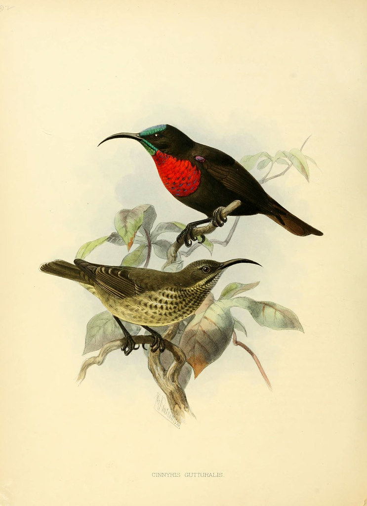 ornithological lithograph from 1870s book