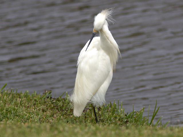 Snowy Egret preening 2-20111129