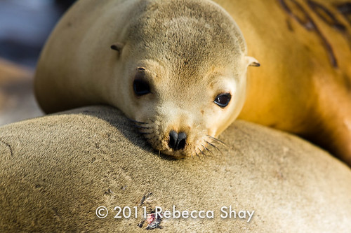 Sea Lions, Elkhorn Slough (Moss Landing, CA)