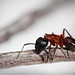 Camponotus vicinus