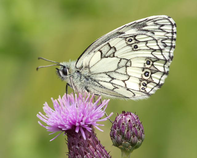 marbled white butterfly 20