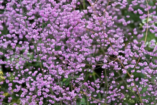 Thalictrum delavayi 39 hewitt 39 s double 39 flickr photo for Thalictrum rochebrunianum rhs