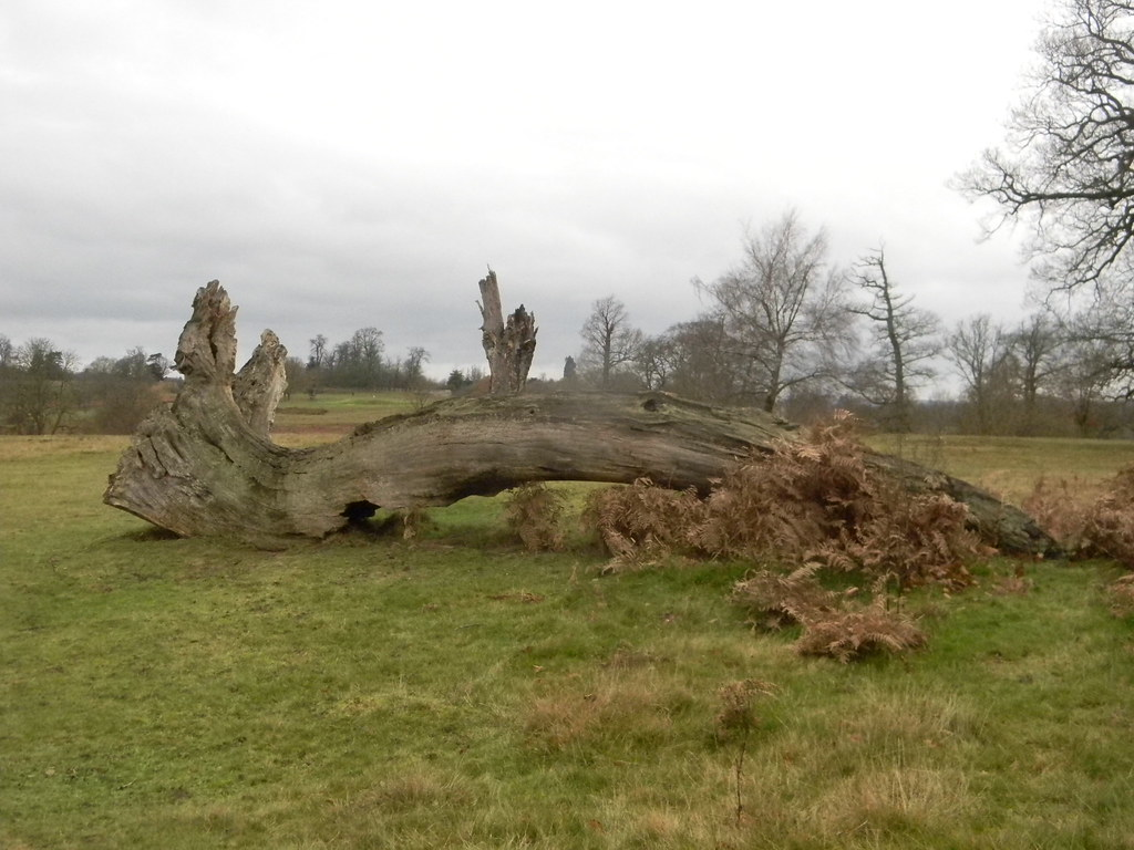 Big log Knole Park. Borough Green to Sevenoaks