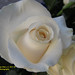 White rose Capullo Rosa Blanca