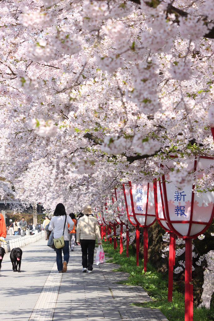 Hirosaki Park Sakura (2)