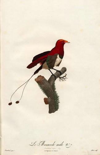 006-El manucode macho-Histoire naturelle des Oiseaux de paradis et des Rolliers.. 1806-François Levaillant