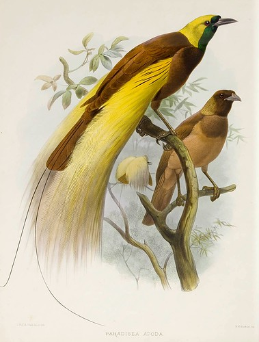 017-Gran Ave del Paraiso-A Monograph of the Paradiseidae-1873 D.G. Elliot