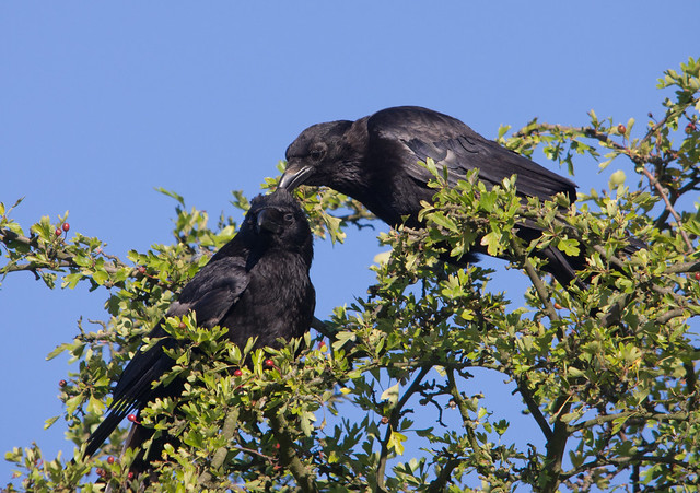 carrion crows 2