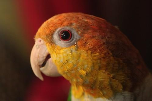 parrot training, caiques, training caiques