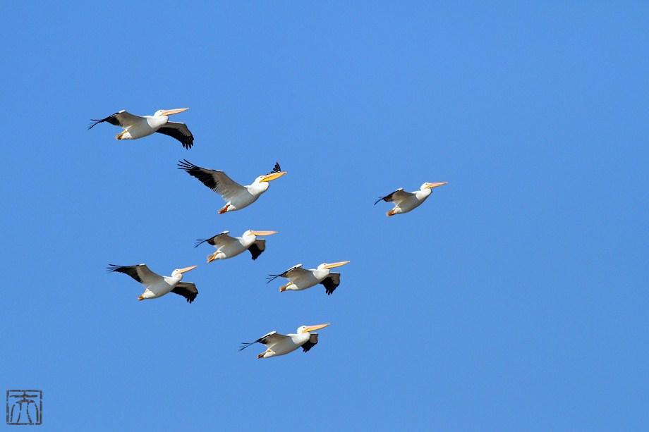 American White Pelican 010112-4