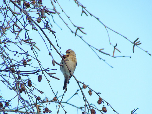 Lesser Redpoll on Patch by WoodwolfUW