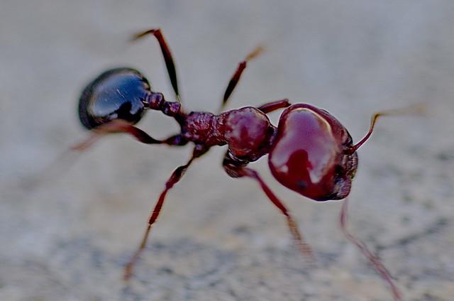 Macro ant | Flickr -