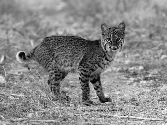 Bobcat cub BW 20111125