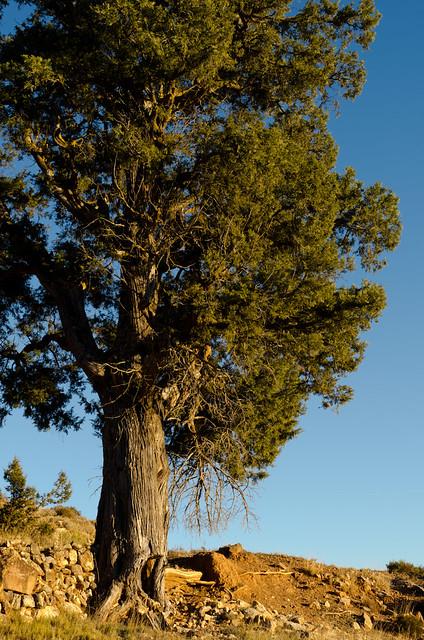 ¿Sequoya en Yosemite? NO. Sabina en La Torre