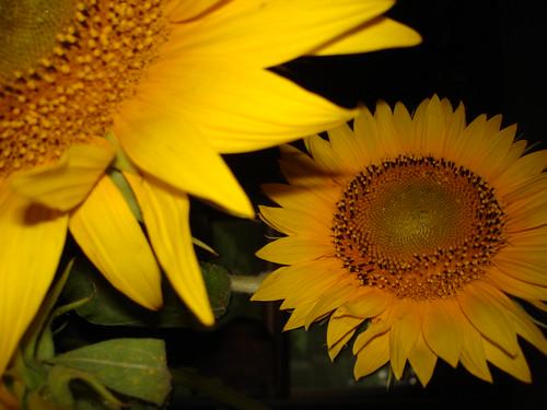 Sunflowers by PHOTOFENNISH