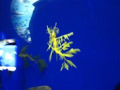 Ocean Park Leafy Sea Dragon