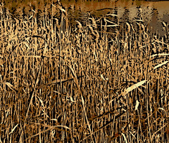 Tall Winter Grasses (Digital Woodcut) by randubnick