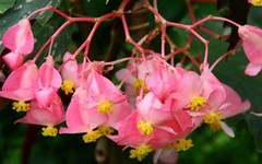 Full Bloom Angel Wing Begonia
