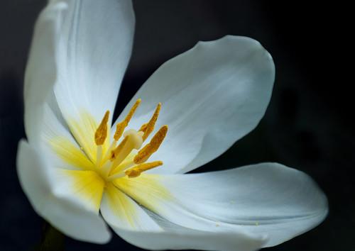 Tulp - Overblown white tulip by RuudMorijn