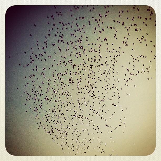 billions of birds