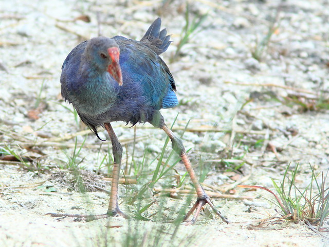 Purple Swamphen immature 20120113