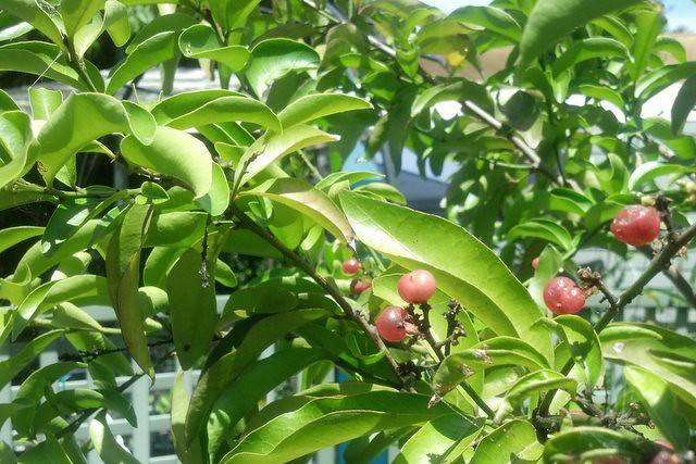 Orange Berry - Bush Tucker