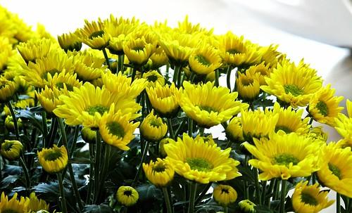 IMG_1347 Yellow chrysanthemum