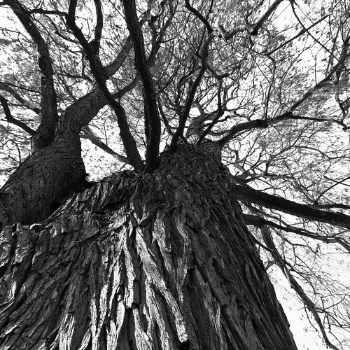 Cypress Tree from below