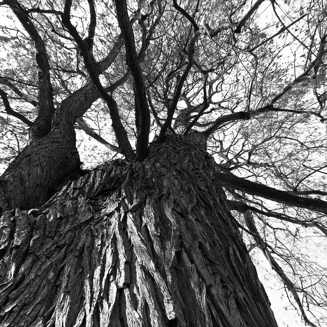 Cypress Tree from below