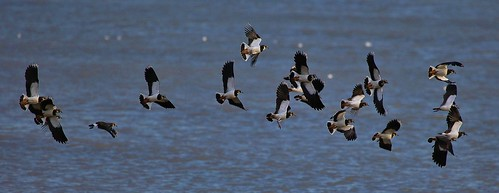 Lapwing Pegwell Bay by Kinzler Pegwell